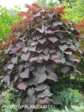Cercis canadensis 'Ruby Falls' Weeping Red Redbud Tree