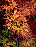 Acer palmatum 'Brocade' Japanese Maple