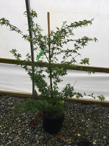 Acer palmatum 'Matthew' Dwarf Japanese Maple