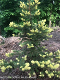 Picea pungens 'Gebelle's Golden Spring' Yellow Colorado Blue Spruce