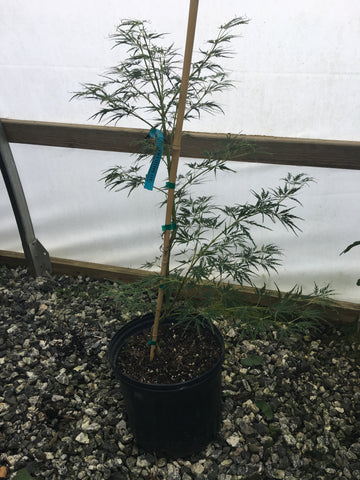 Acer palmatum dissectum 'Ao shidare' Blue Green Weeping Japanese Maple