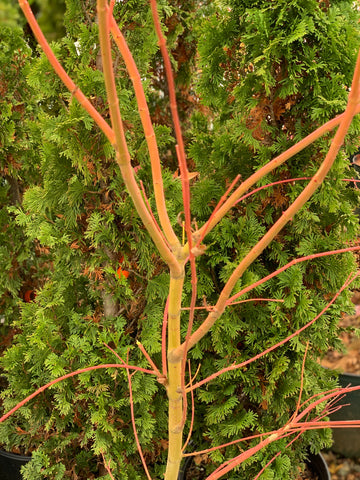 Acer palmatum 'Wildfire' Coral bark Winter Interest Japanese Maple