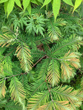 Metasequoia glyptostroboides 'Daweswood Tawny Fleece'' Dwarf Dawes Arboretum WB Bronze Dawn Redwood