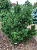 Pinus mugo 'Gnom' Dwarf Mountain Pine Tree