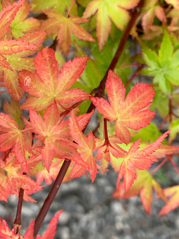 Acer palmatum 'Shishiohime' Dwarf Japanese Maple