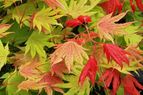 Acer shirasawanum Moonrise™ Full Moon Japanese Maples