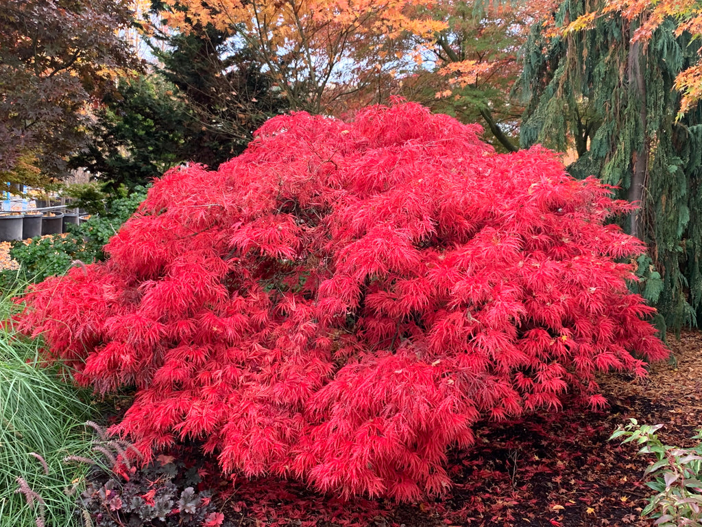 Buy Acer Palmatum Dissectum Crimson Queen Laceleaf Japanese Maple
