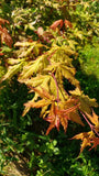 Acer palmatum 'Ruby de Sofia' Japanese Maple