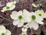 Cornus florida 'Dixie Columnade' White Blooming Narrow Dogwood