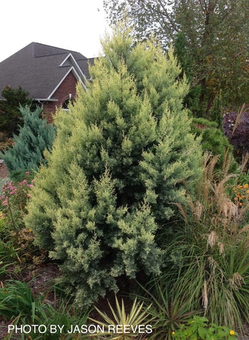 Cupressus arizonica 'Sulphurea' Golden Arizona Cypress