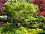 Acer palmatum 'Koto-no-ito' Japanese Maple