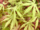 Acer palmatum 'Blonde Beauty' Japanese Maple