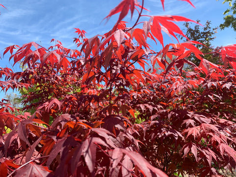 Acer palmatum 'Red Flash' Japanese Maple