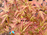 Acer palmatum 'Green Goblin' Dwarf Japanese Maple