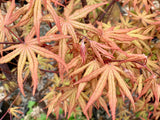 Acer palmatum 'Jubilee' Japanese Maple