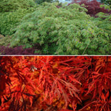 Acer japonicum 'Green Cascade' Japanese Maple