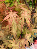 Acer palmatum 'Nebula' Variegated Japanese Maple