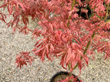 Acer palmatum 'Lileeanne's Jewel' Japanese Maple