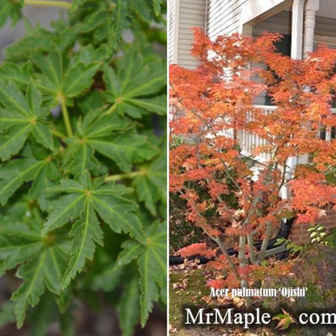 Acer palmatum 'Ojishi' Male Lion Japanese Maple