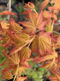 Acer palmatum 'Golden Falls' Weeping Golden Japanese Maple