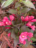 Weigela florida 'Minor Black' Red Foliage Shrub