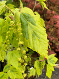 Acer rufinerve 'Sunshine' Variegated Snakebark Japanese Maple