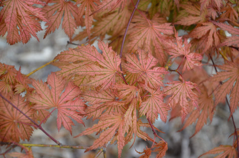 Acer palmatum 'Ariadne' Japanese Maple