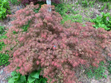 Acer palmatum 'Dr. Brown' Japanese Maple