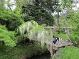 Wisteria floribunda 'Snow Showers' White Flowering Japanese Wisteria