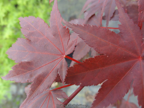 Acer palmatum 'Ruth's Red' Japanese Maple