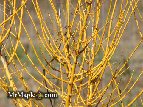 Styphnolobium japonicum 'Winter Gold' Gold Bark Japanese Pagoda Tree