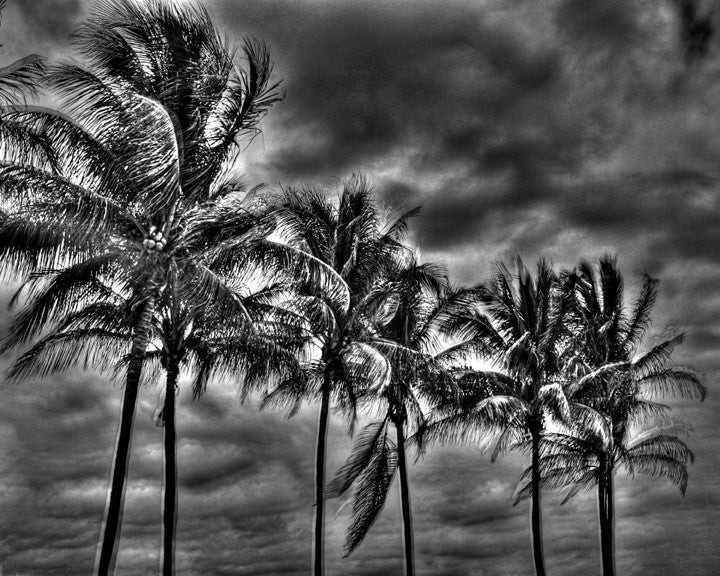 Miami Beach Palm Trees Before the Storm