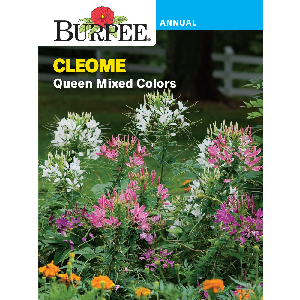 Cleome Queen mixed colors