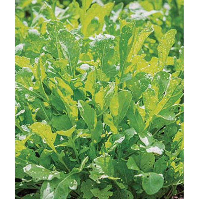 Arugula rocket leaves