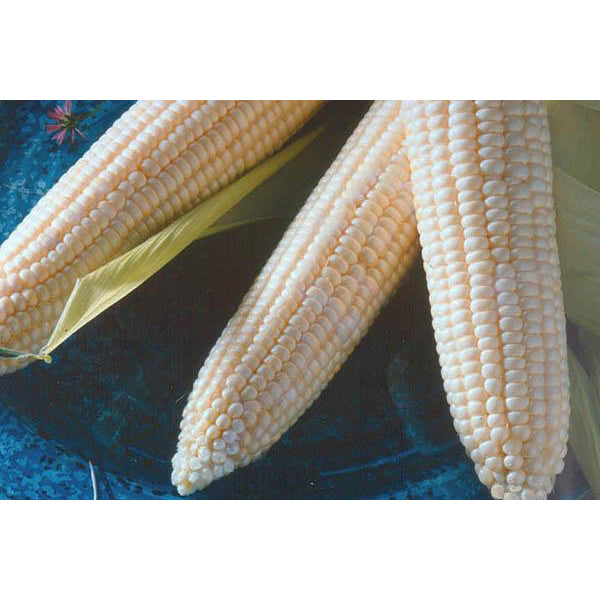 Argent white sweet corn.