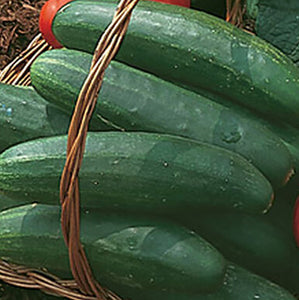 Bush Champion cucumbers