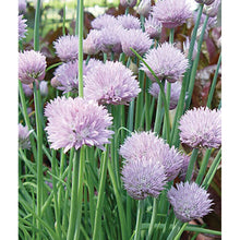 Chive herb