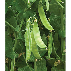 Sugar peas on vine
