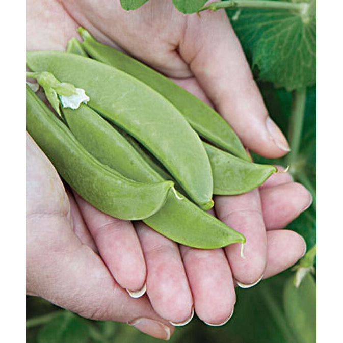 Snappy Sugar peas