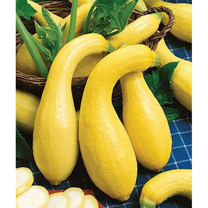 Early Summer Crookneck squash
