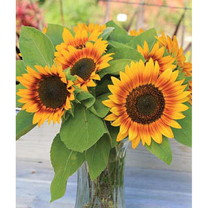 Fire Catcher Sunflowers