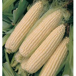 Silver Queen sweet corn.