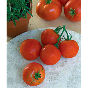 Round red tomatoes