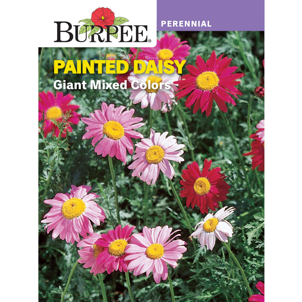 Painted Daisy Flower seed pack