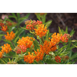 Butterfly Milkweed plants