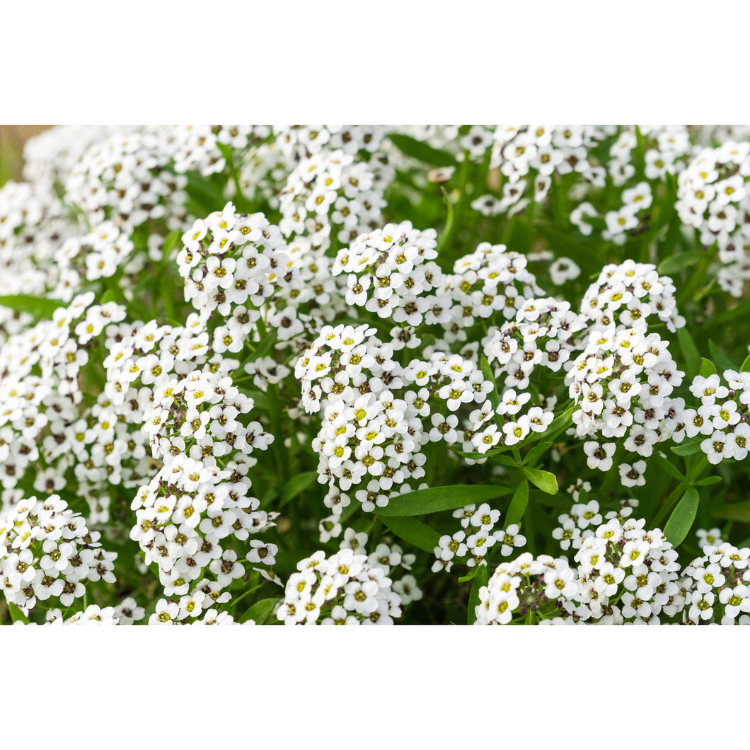 Carpet of Snow Alyssum