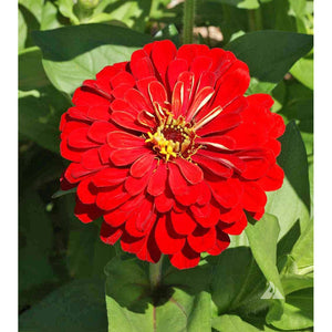 Cherry Zinnia flower
