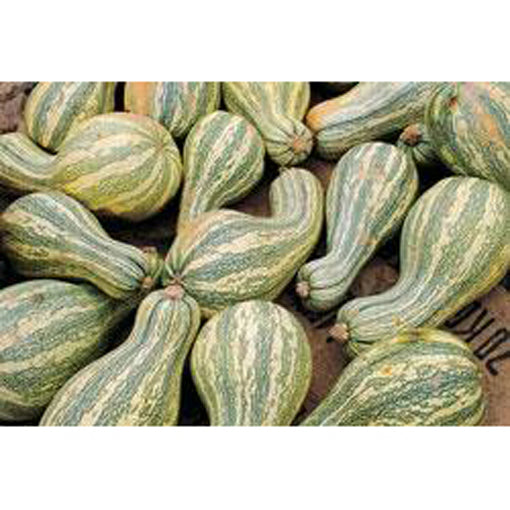 Green-striped Cushaw pumpkins