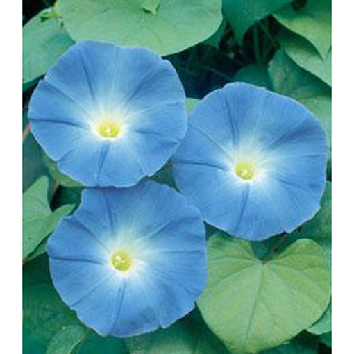 Blue Morning Glory flowers