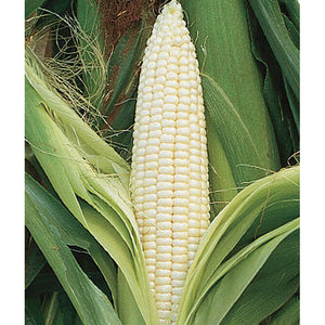 Silver Queen sweet corn
